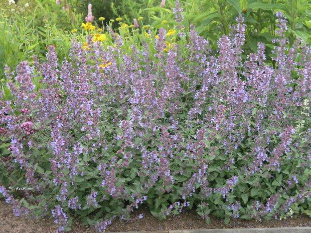 nepeta faasseni six hill's giant